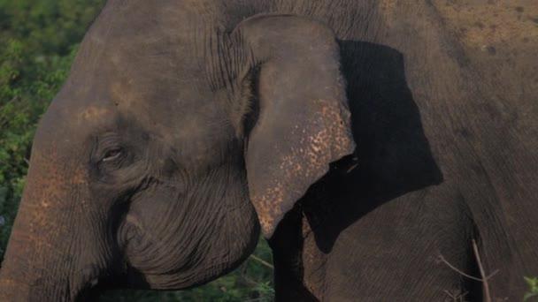 elefánt sétál magas zöld fű és rázza fülét