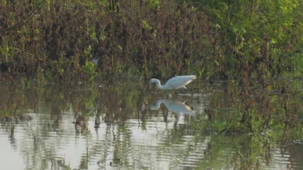 fehér nagy egret sétál nyugodt tó víz és eszik halat
