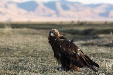 Golden eagle sits on land in the steppe at Mongolia.
