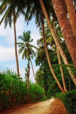 Tall Coconut Trees
