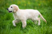 Golden retriever puppy in the grass