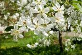 v jarní zahradě Kvetoucí strom