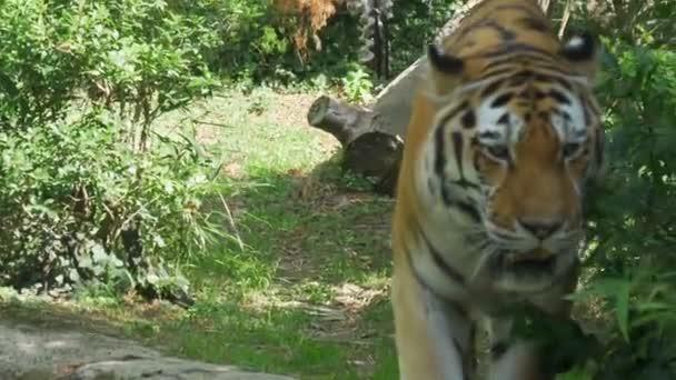 Una tigre siberiana a piedi nella giungla