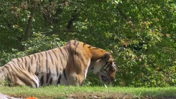 Tygr ussurijský odpočívající v džungli