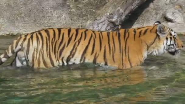 A szibériai tigris, séta a víz