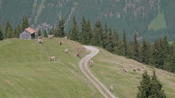 Krávy pasoucí se na svěží zelené louky v alpské krajině