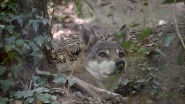 Közeli kép: a szürke Farkas (Canis lupus) feküdt az erdő