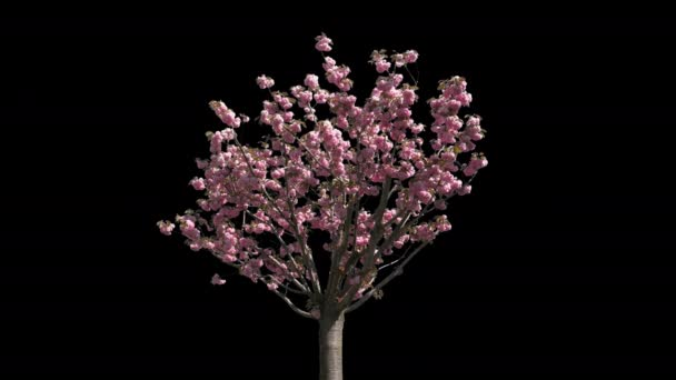 Japanese Cherry Isolated Tree