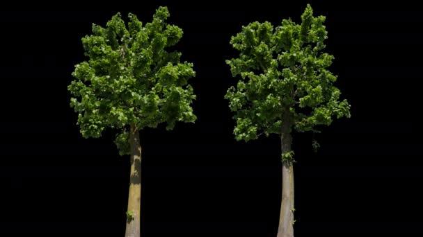 Tilia isolierter Baum