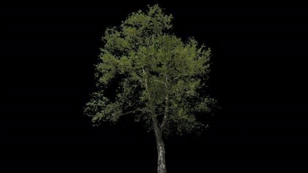 Platanus isolierter Baum