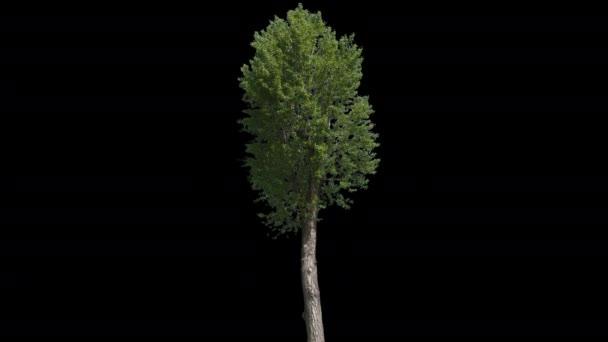 populus nigra isolierter Baum