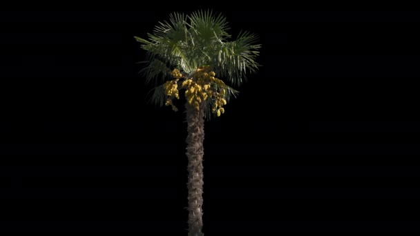 Palm Isolated Tree