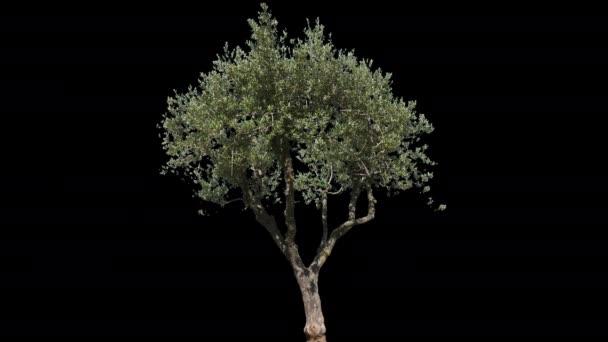 Olivenbaum isoliert