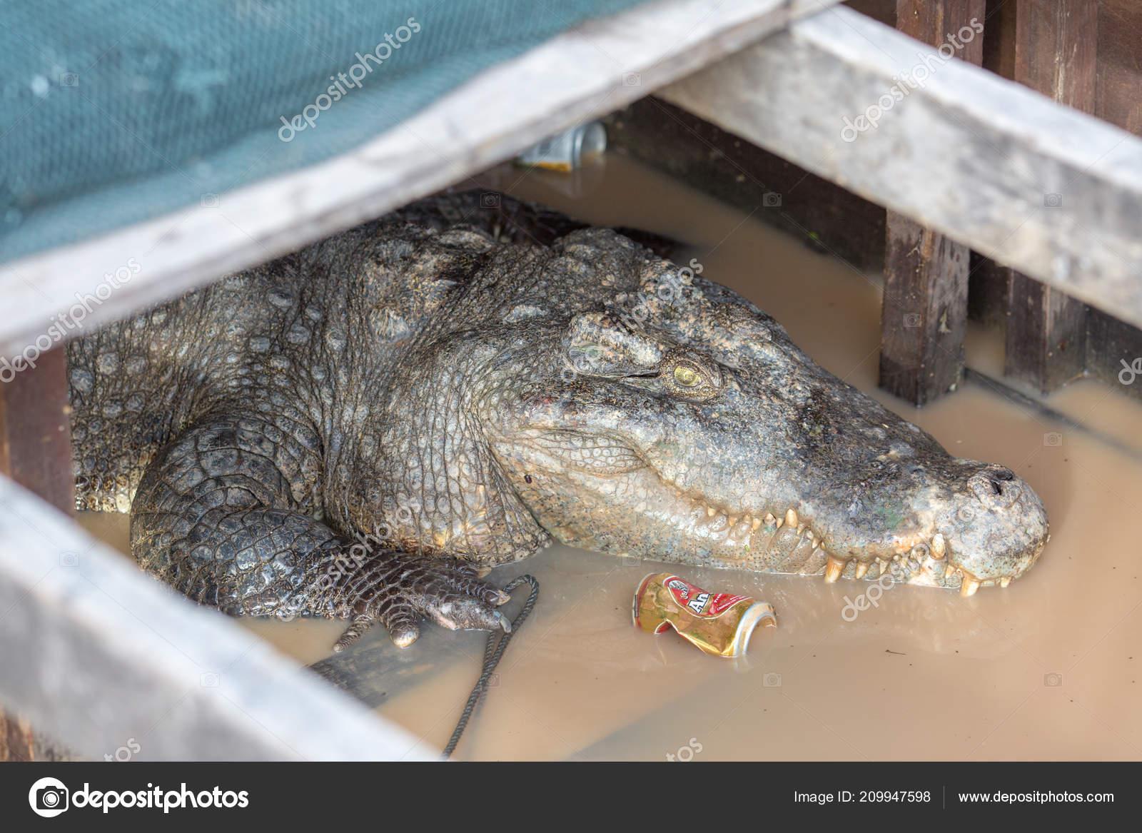dd2fc118 Un cocodrilo está esperando a orar debajo de la casa en asia Tailandia —  Foto de online.news.express.mail.gmail.com  ...