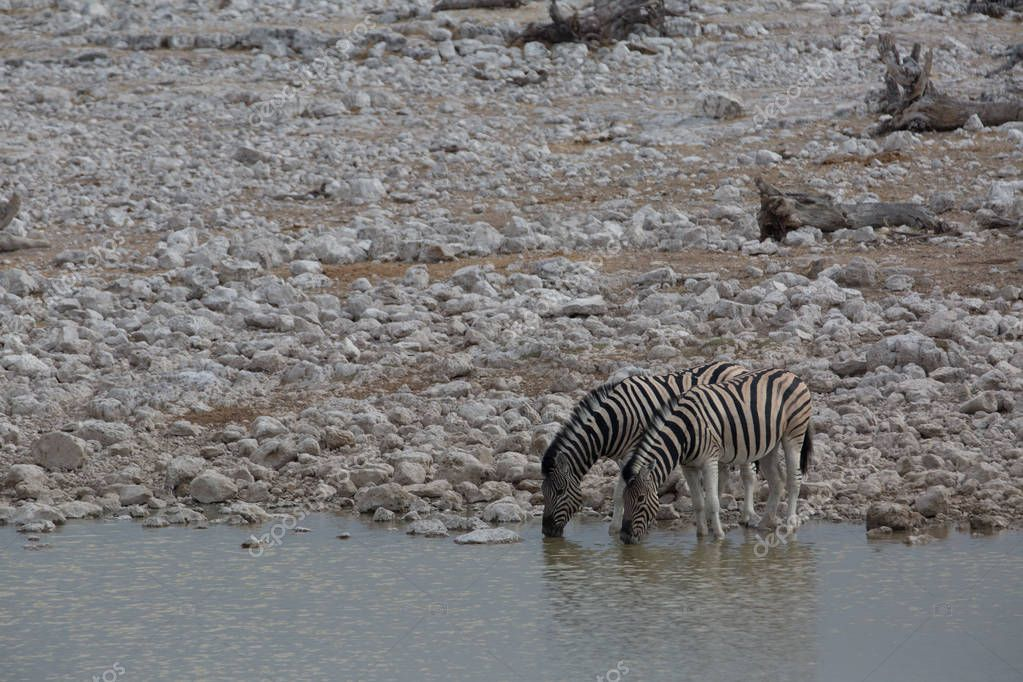 some zebra walking around and looking for water and food