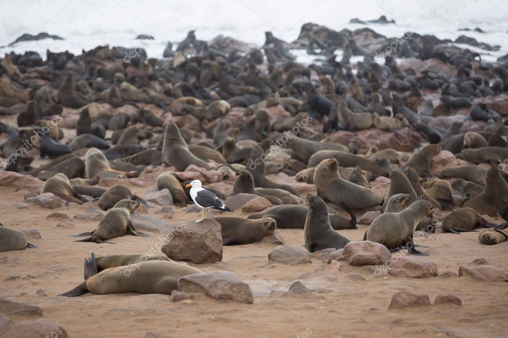 a large group of seals is sitting on a beach and love to swim from time to time in south africa