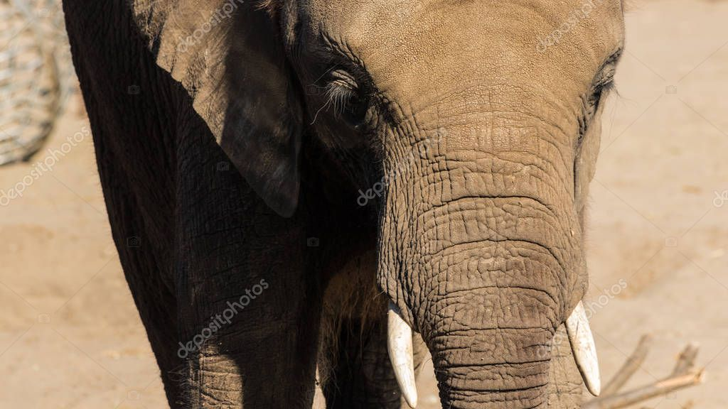 African elephant close-up.