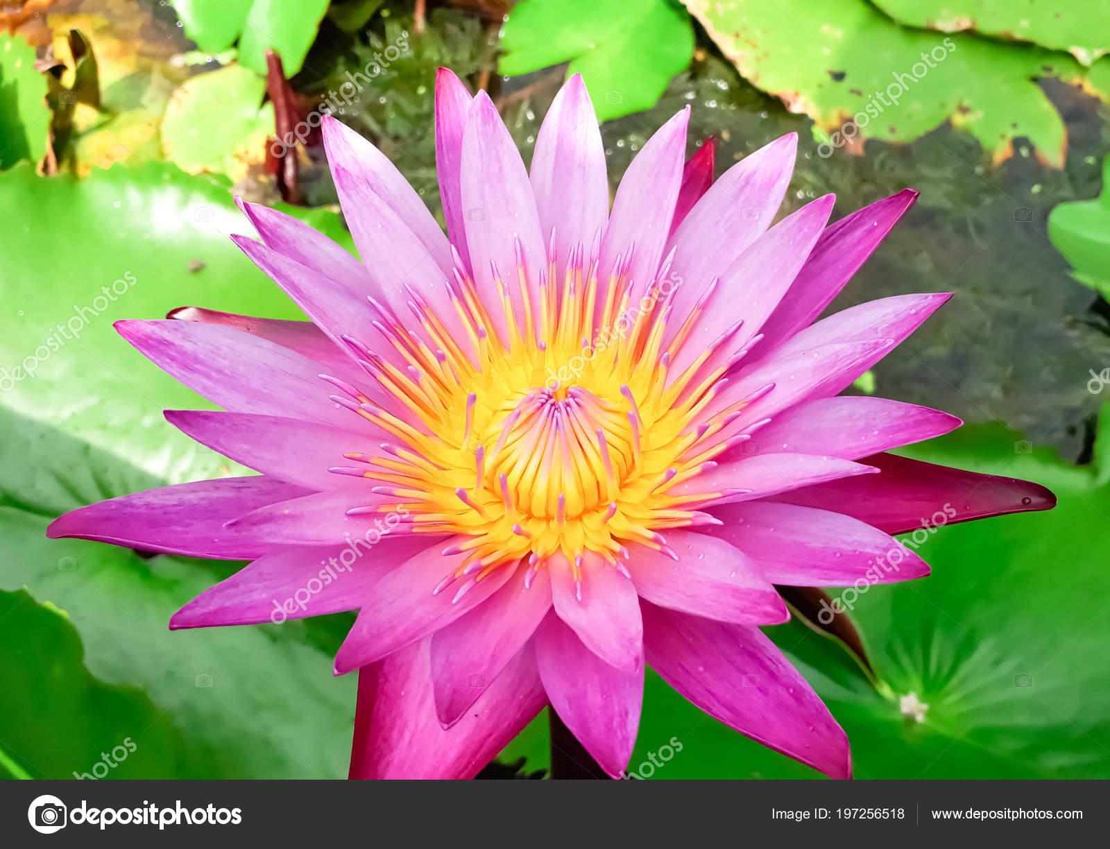 Pink Lotus Flower Blooming Water Leaf Beautiful Colorful Pink Lotus