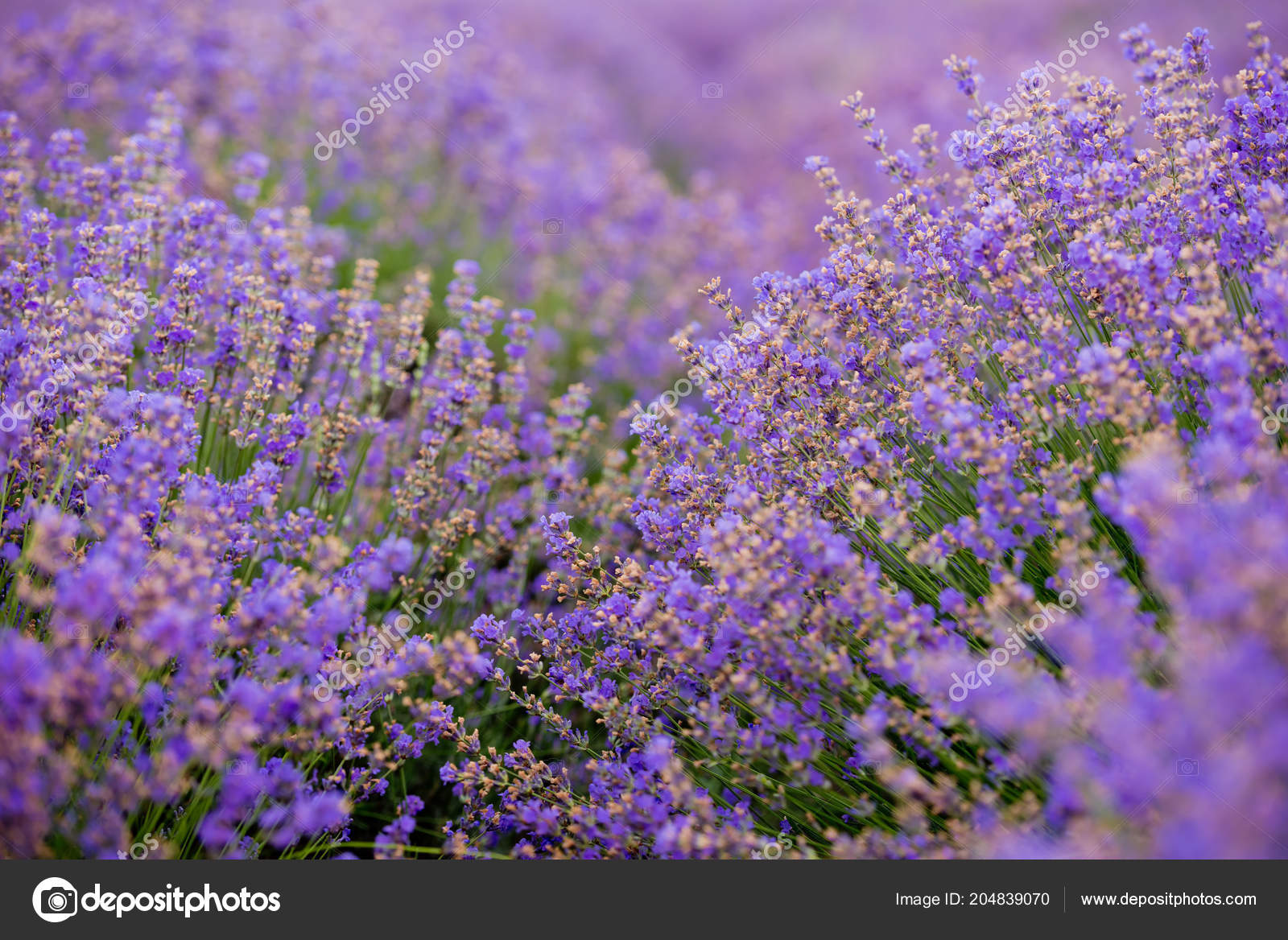 Soft focus flowers beautiful lavender flowers blooming stock photo soft focus flowers beautiful lavender flowers blooming stock photo izmirmasajfo