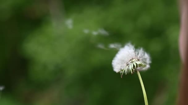 Video of a dandelion seeds being blown away