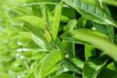 Foglie fresche di verde naturale struttura o priorità bassa