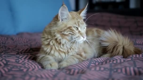 big red cat breed Maine Coon lying on a colorful blanket and then goes