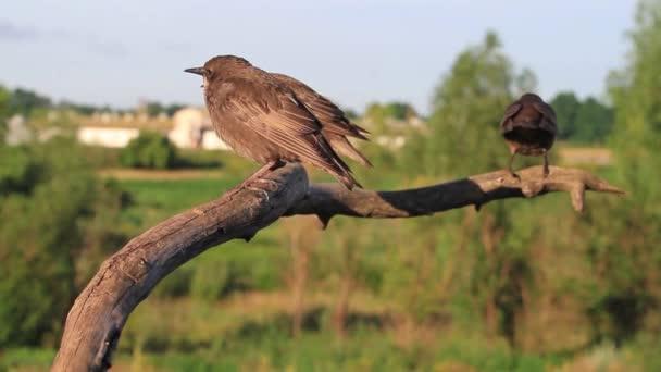 Flock a seregélyek ül egy ág/állomány seregélyek ül egy ágon, egzotikus madarak a vad természet