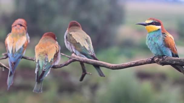 hejno divokých ptáků barevné včelojedi