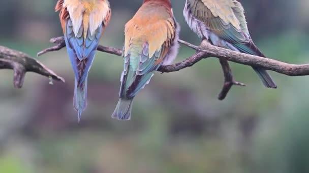Wildvögel putzen ihre bunten Federn