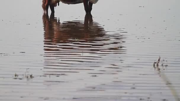 cow stands in water