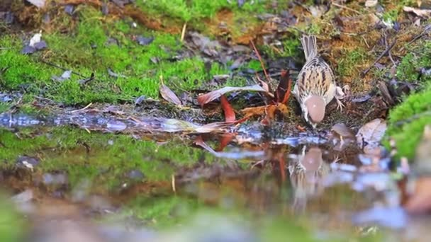 sparrows drink water in a forest puddle