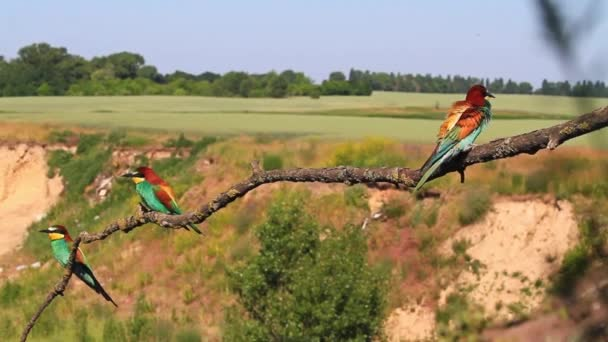 colored birds in marriage dances