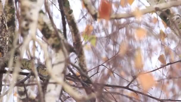 Kalous ušatý sedící na větvi bříza
