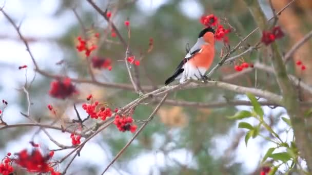 piros rowan bogyókat eszik süvöltő