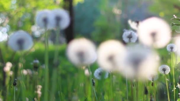 pampelišky v lese na jaře