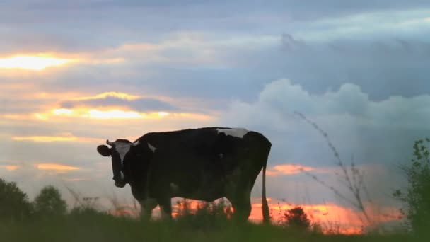 cow grazing on a field at sunset