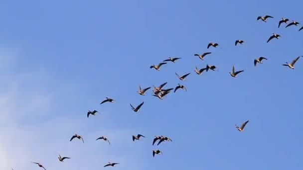 hejno Hus létat na modré obloze