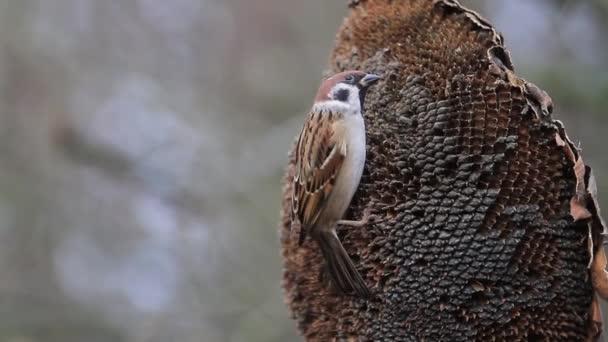 Sparrow jíst slunečnicová semena, slunečný den