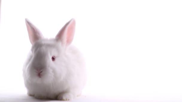 white rabbit sitting on a white background