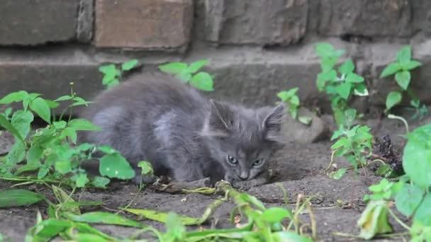 kleine graue Kätzchen essen gefangen Maus