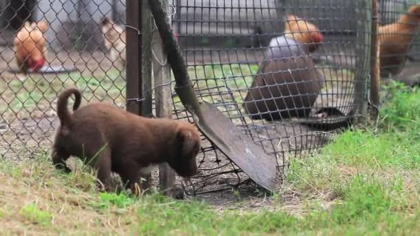 malé hnědé štěně, které si hraje na farmě