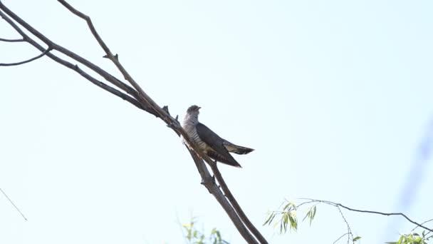 Kuckuck singt sitzend auf einem Ast