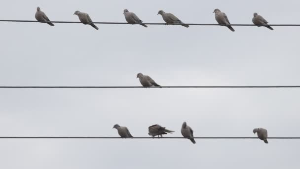 turtle doves sit on electric wires