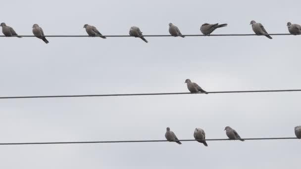 divocí holubi sedí na elektrických drátech