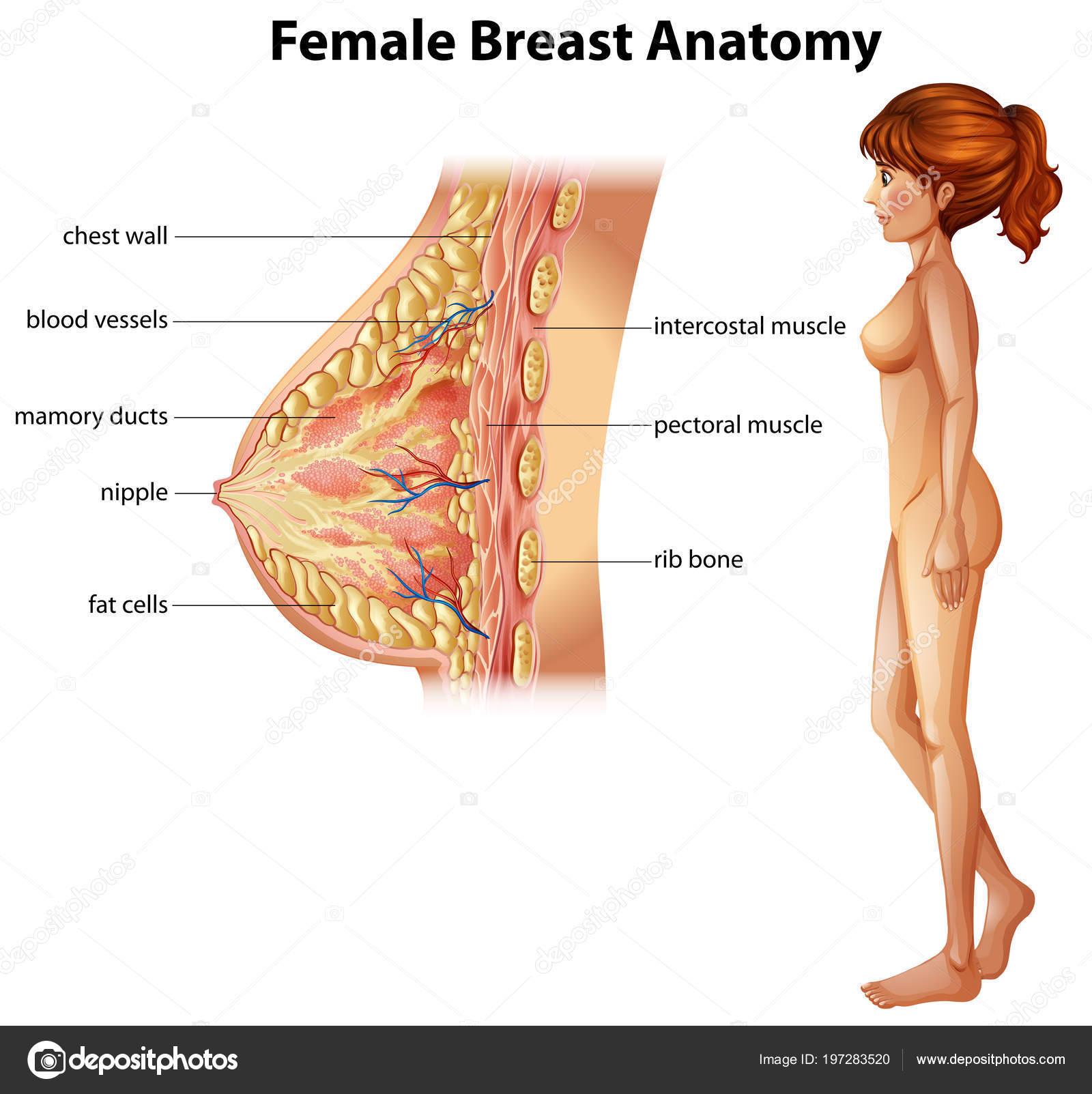 Ilustración Anatomía Mama Femenina Humana — Vector de stock ...