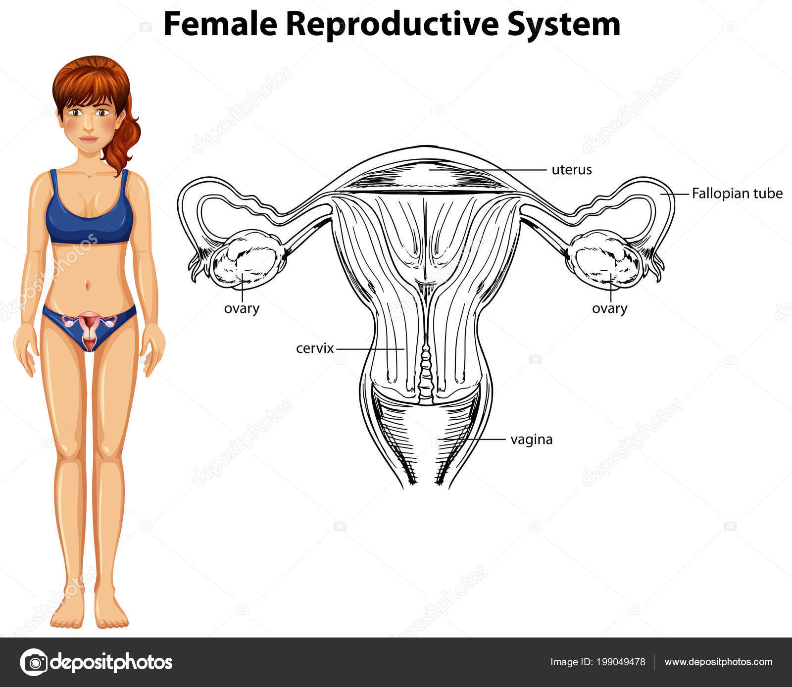 Human Anatomy Female Reproductive System Illustration Stock Vector