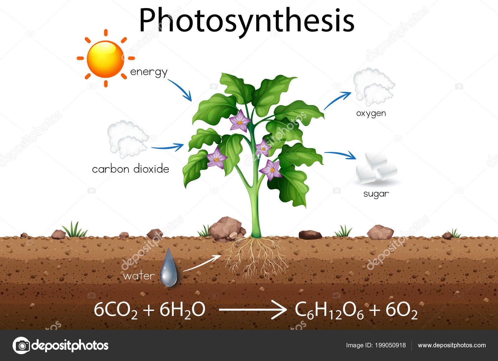 Uitgelezene Photosynthesis Explanation Science Diagram Illustration — Stock QQ-33