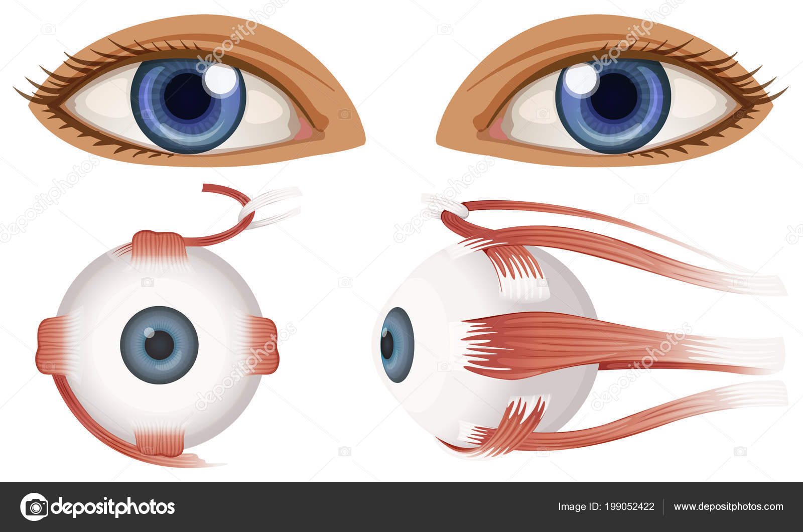 Human Anatomy Eyeball Illustration — Stock Vector © blueringmedia ...