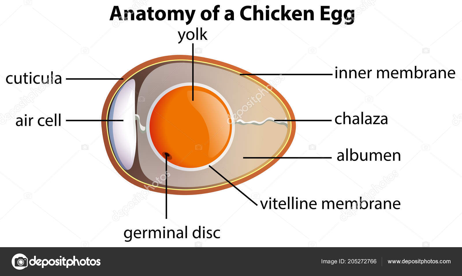 Anatomy Chicken Egg Illustration — Stockvector © blueringmedia ...