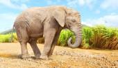 Slon africký Bush - Loxodonta africana chůzi na silnici v přírodní rezervaci. Pozdrav z Afriky
